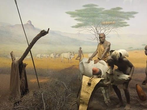 Diorama of Pokot (East African nomads), American Museum of Natural History, New York, 2016 (photograph by Risham Majeed)
